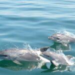 МОСВ публикува съвети за оказване на помощ на бедстващи делфини