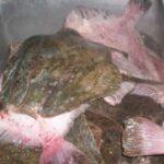 В Поморие конфискуваха 400 кг. калкан – обект на незаконен риболов