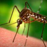 Констатирани са в Бургаска област огнища от азиатски тигров комар