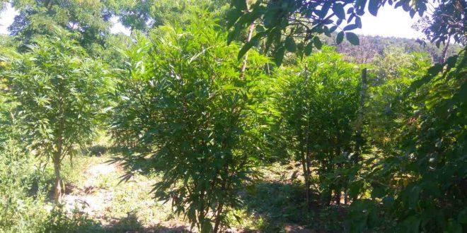 150 кг зелена листна канабисова маса е иззета при претърсване