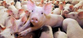 ОДБХ – Бургас умъртви 99 прасета, свободно пуснати между Ахелой и Каблешково