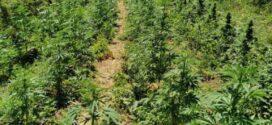 Задържани лица, съпричастни към отглеждането на нива с конопени растения