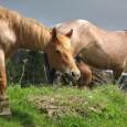 На 30.09.т.г. в 13.00 ч. в Районно Управление «Полиция» – Поморие е получено съобщение от 37 годишен мъж, че му е извършена кражба на два коня, които са били завързани...
