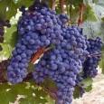Кметът на община Поморие Иван Алексиев със своя заповед от 27.08.2012г. даде началото на кампанията по гроздобера. За да бъдат предотвратени злоупотреби се забранява влизането в лозовите масиви преди 06.00...