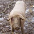36 годишен помориец се оплакал в полицията, че от стопанска постройка в местността «Солниците» – Поморие, му е извършена кражба на мъжко прасе, тежащо около 150 кг., съобщиха от пресцентъра...