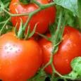 И тази седмица продължава тенденцията на намаление при цените на едро на българските оранжерийни домати. Това сочат данните на Държавната комисия по стоковите борси и тържищата. Родните домати поевтиняват с...